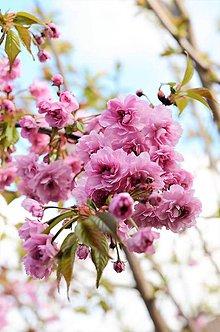 Fotografie - Sakura - 10636181_