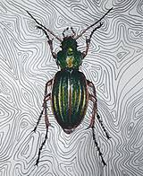 Kresby - Carabus auratus - 10637287_