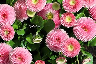 Fotografie - Fotografia... Ružové bozky - 10640332_