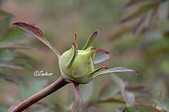 Fotografie - Fotografia... Puk - 10644392_