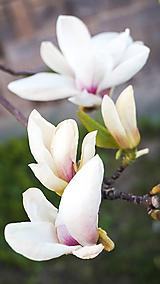 Biela magnólia