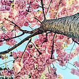 Fotografie - S A K U R A - 10656307_
