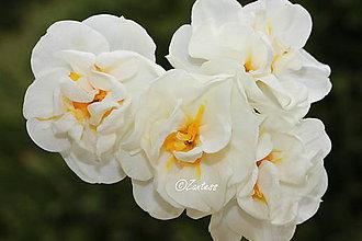 Fotografie - Fotografia... Narcis kráľovský - 10681633_