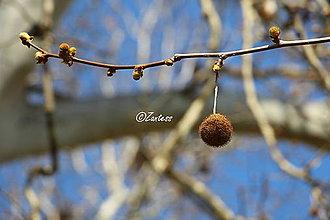 Fotografie - Fotografia... Platanova náušnica - 10681704_