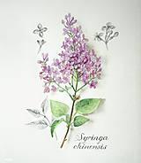 Obrazy - Obraz Orgován čínsky - Syringa chinensis, print A4 - 10682416_