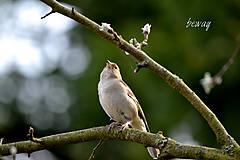 Fotografie - pinka lesná - 10708025_