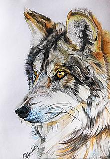 """Kresby - Farebná kresba """"Vlk dravý - Canis lupus"""" - 10728348_"""