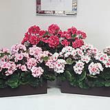 Dekorácie - Večne kvitnúce muškáty - 10728504_