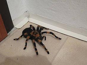 Dekorácie - Pavúk - 10754467_