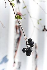 Fotografie - Bobulienky - 10757523_