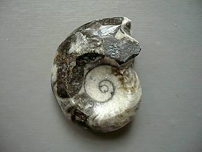 Minerály - Goniatit 42 mm, č.29f - 10757318_