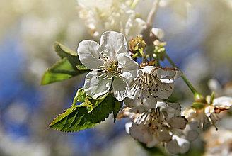 Fotografie - kvet čerešne - 10792054_