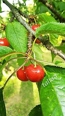 Fotografie - Fotografia ČEREŠNE - 10815559_