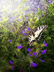 Fotografie - Motýľ užívajúci si slobodu - 10919337_