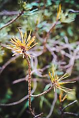 Fotografie - Ihličnaté kvety - 10962650_