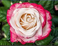 Fotografie - Dvojfarebná ruža - 10984483_