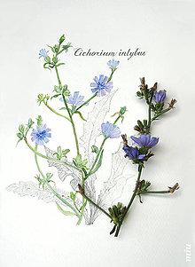 Obrazy - Obraz Čakanka, akvarel + ceruzka, tlač A4 - 10992170_