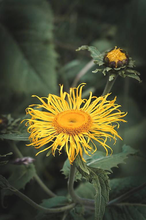 Žltý kvet s púčikom