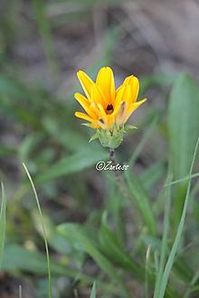 Fotografie - V-Fotografia... Slnečný kvet - 11014034_