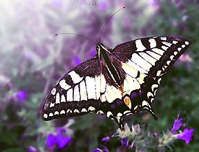 Fotografie - Motýľ užívajúci si oddych - 11020754_