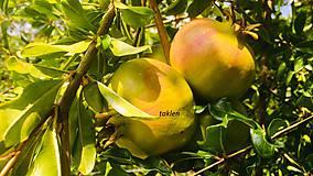 Fotografie - granátové jablčko - 11135314_