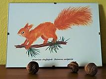 Obrazy - Veverica obyčajná, Sciurus vulgaris, akvarel - 11143083_