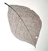 Kresby - List ořechu - hnědý, vel. A3 - 11144131_