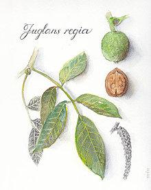 """Obrazy - Obraz """"Orech – Juglans regia"""" akvarel + ceruzka, tlač na akvarelovom papieri - 11165128_"""