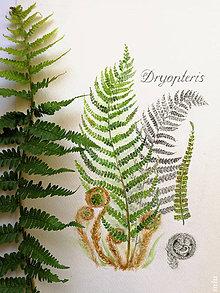 """Obrazy - Obraz """"Papraď Dryopteris"""", akvarel + ceruzka, tlač na akvarelovom papieri - 11165207_"""