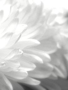 Fotografie - Chryzantémy - 11236716_