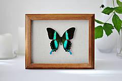 Papilio blumei-motýľ v rámčeku