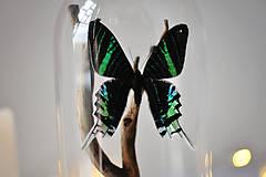 Dekorácie - Urania leilus- motýľ v sklenenej kupole - 11254151_