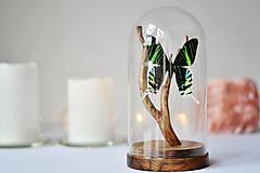 Dekorácie - Urania leilus- motýľ v sklenenej kupole - 11254159_