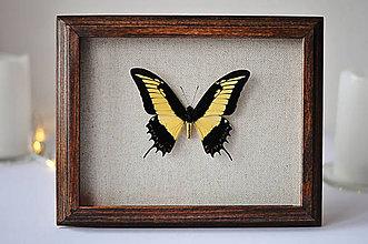 Dekorácie - Papilio androgeus-motýľ v rámčeku - 11254242_