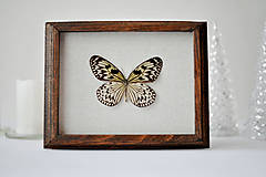 Obrázky - Idea leuconoe- motýľ v rámčeku - 11257966_
