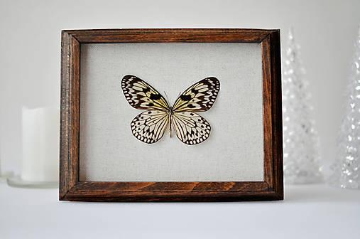 Idea leuconoe- motýľ v rámčeku