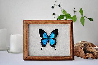 Obrázky - Papilio ulysses- motýľ v rámčeku - 11254667_