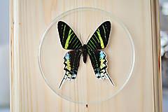 Obrázky - Urania leilus- motýľ na drevenej podložke - 11258914_