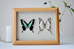 Obrázky - Papilio phorcas/ Euterides protesilaus-motýle v rámčeku - 11260427_