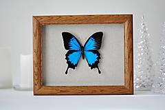 Obrázky - Papilio ulysses-motýľ v rámčeku - 11260454_