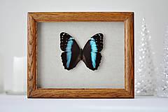 Obrázky - Morpho achilles- motýľ v rámčeku - 11260616_