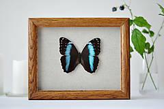 Obrázky - Morpho achilles- motýľ v rámčeku - 11260619_