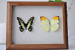 Obrázky - Graphium tyndareus/ Anteos menippe- motýle v rámčeku - 11260746_