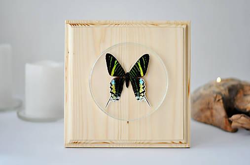 Urania leilus- motýľ na drevenej podložke