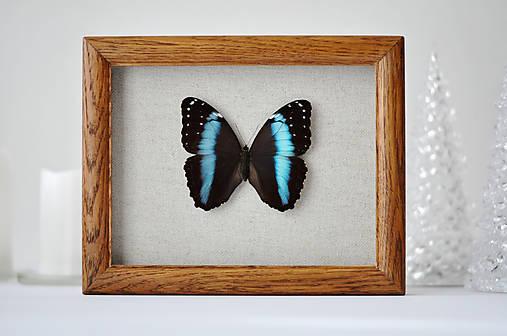 Morpho achilles- motýľ v rámčeku