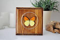 Obrázky - Hebomoia leucippe- motýľ na drevenej podložke - 11263060_