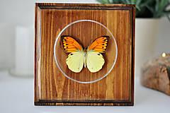 Obrázky - Hebomoia leucippe- motýľ na drevenej podložke - 11263061_