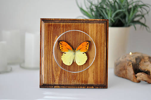 Hebomoia leucippe- motýľ na drevenej podložke