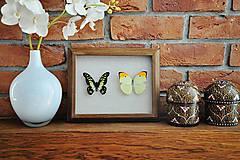 Obrázky - Graphium tyndareus/ Anteos menippe- motýle v rámčeku - 11271286_