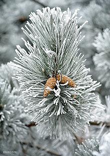 Fotografie - Fotografia - Borovicová vetvička. - 11285350_